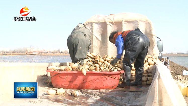 腰包鼓了!十字千亩莲藕大丰收!20多名工人采摘装车,亩产2500斤,总产量300万斤